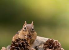 Das Oststreifenhörnchen, das durch pinecones umgeben wird, hebt Hände mouth in einer Fallsaisonszene an Stockbild