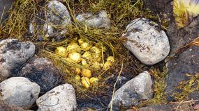 Das pachamanca ist ein ererbter kochender Untertageprozeß auf erhitzten Steinen, Ecuador lizenzfreie stockbilder