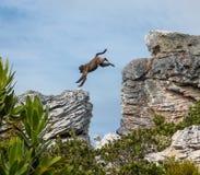 Das Pavian-Springen Stockfotografie