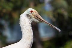 Das Pelikanporträt Lizenzfreie Stockfotos