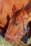 Das Pferd am Bauernhof isst Heu Stockfotografie