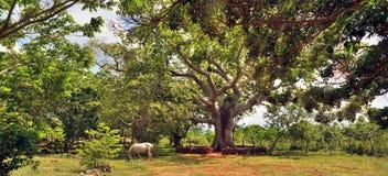 Das Pferd, das unter einem Baum Ceiba weiden lässt Stockbild