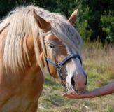 Das Pferd isst von einer Hand Stockfoto