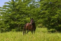 Das Pferd kostet auf einer Lichtung mit dem mit erhobenem Kopf Lizenzfreie Stockbilder