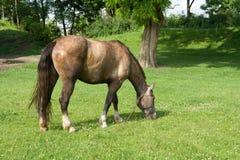 Das Pferd lässt auf einer Wiese weiden Lizenzfreies Stockbild