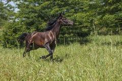 Das Pferd läuft auf einer Lichtung Stockbild