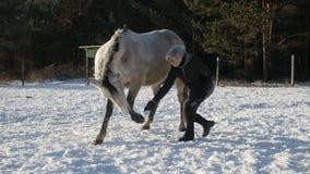Das Pferd macht einen Bogen stock video