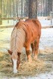 Das Pferd von rote Farbzucht des Kaltbluts isst Heu in einer hölzernen Hürde im Winter, Lizenzfreie Stockfotografie