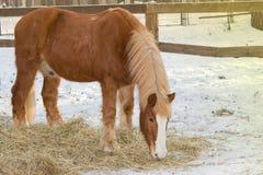 Das Pferd von rote Farbzucht des Kaltbluts isst Heu in einer hölzernen Hürde im Winter, Stockfoto