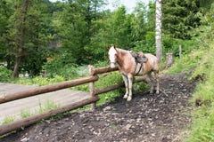 Das Pferd wird an einem Zaun gebunden Stockfoto