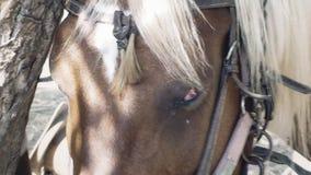 Das Pferdeauge, das traurig ist, werfen laut summen herein Hand stock video