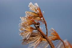 Das Pinus pumila Stockfotos