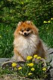 Das Pomeranian Lizenzfreies Stockfoto