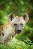 Das Porträt der Hyäne Stockfotografie