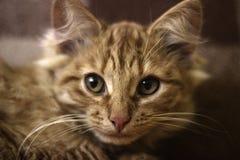 Das Porträt der Miezekatze Stockfoto