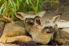 Das Porträt der Schläger-ohrigen Fuchsfamilie Stockfotos
