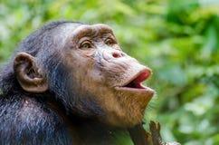 Das Porträt des glücklichen Schimpansen johlend mit grünem Hintergrund an Afi-Bergen bohren Ranch, Nigeria lizenzfreie stockbilder