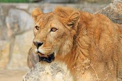 Das Porträt des Löwes stockbild