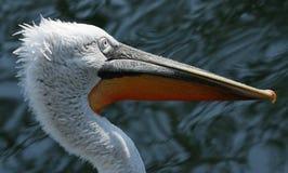 Das Porträt des Pelikans. Lizenzfreies Stockfoto