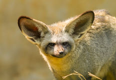 Das Porträt des Schläger-ohrigen Fuchses Stockbild