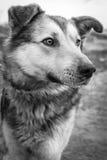 Das Porträt des Schwarzweiss-Hundes Stockbilder