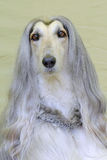 Das Porträt des sehr alten afghanischen Jagdhunds Lizenzfreie Stockfotos