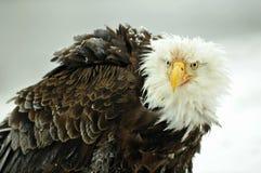 Das Porträt des Weißkopfseeadlers (Haliaeetus leucocephalus) Stockfoto