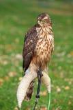 Das Portrait des Nordhühnerhabichts Stockfotografie