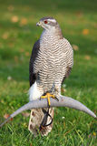 Das Portrait des Nordhühnerhabichts Lizenzfreies Stockbild