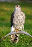 Das Portrait des Nordhühnerhabichts Lizenzfreies Stockfoto