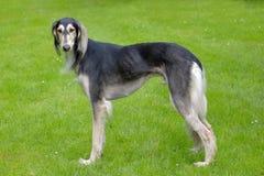 Das Porträt von Saluki-Hund Stockbild