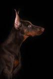 Das Profil eines Dobermanns auf einem schwarzen Hintergrund Stockbild