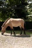 Das Przewalskipferd Stockbilder