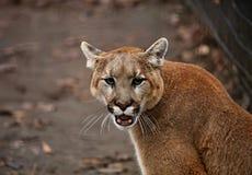 Das Puma Puma concolor im ZOO lizenzfreie stockbilder