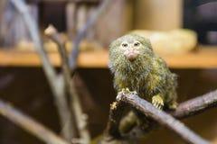 Das Pygmäenseidenäffchen - Cebuella pygmaea Lizenzfreie Stockfotos