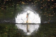 Das Rütteln des Pelikans sprüht Wassertröpfchen stockbild
