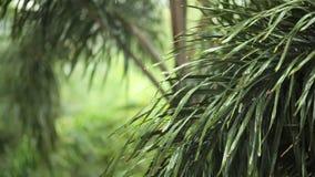 Das Regnen und das Wasser fällt auf grüne Blatt Palme in HD, genommen auf bewölkter Umwelt können als romantischer Szenenhintergr stock video