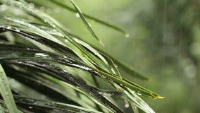 Das Regnen und das Wasser fällt auf grüne Blatt Palme in HD, genommen auf bewölkter Umwelt können als romantischer Szenenhintergr stock footage