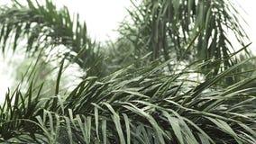 Das Regnen und das Wasser fällt auf grüne Blatt Palme in HD, genommen auf bewölkter Umwelt können als romantischer Szenenhintergr stock video footage
