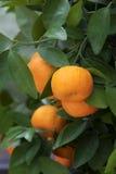 Das reife orange Hängen am Baum mit grünen Blättern Lizenzfreie Stockfotos