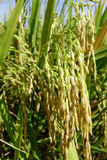 Das reife Reisfeld Stockbild