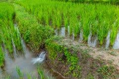 Das Reisfeld Lizenzfreie Stockfotografie