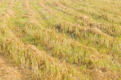 Das Reisfeld nach Ende der Erntezeit lizenzfreies stockbild