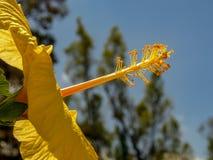 Das reproduktive Teil einer gelben Hibiscusblume lizenzfreie stockbilder