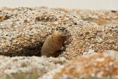 Rockchuck (Marmota caligata) Stockfoto