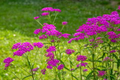 Das rosa Garbe blüht in der Wiese, Makrofoto Medizinische Kräuter: Achillea-millefolium, Schafgarbe oder Nasenblutenanlage Lizenzfreies Stockfoto