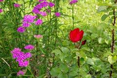 Das rosa Garbe und die Rotrose blüht in der Wiese, Makrofoto Medizinische Kräuter: Millefolium, Schafgarbe oder Nasenbluten Achil Stockfoto