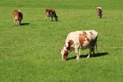 Das rote brindled Vieh lässt in der Wiese an der Landschaft im Sommer weiden Lizenzfreies Stockfoto