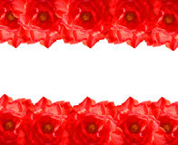 Das rote Rosen-Feld Lizenzfreies Stockbild