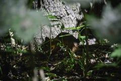 Das rote squrrel ( Sciurus vulgaris) versteckt it' s-Nuss unter den Blättern, zum von Reserven für Winter zu speichern stockbilder
